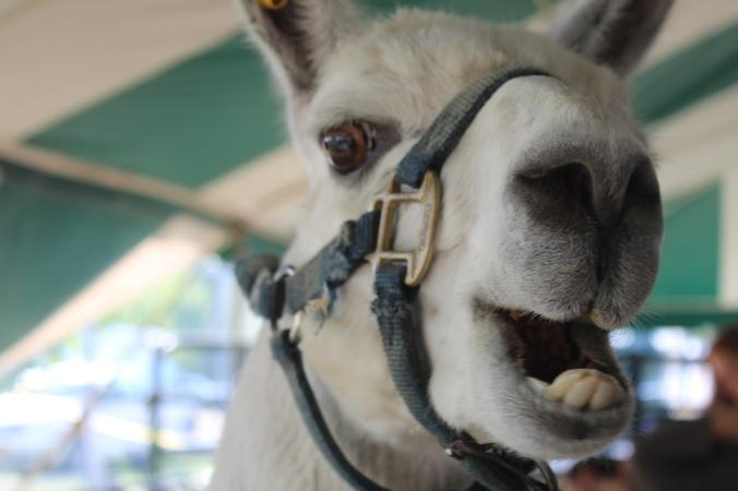llama at fair.JPG